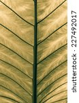 Small photo of closeup Leaf of Giant Alocasia or Giant Taro or Elephant Ear Taro