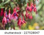 Pink And Purple Fuchsia Flowers