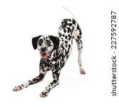 A Playful Dalmatian Dog Bowing...