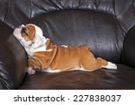 English Bulldog Puppy Relaxing...