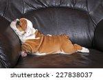 English Bulldog Puppy Relaxing...