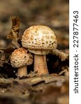 Small photo of Edible Blusher fungi (Amanita rubescens)