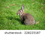Wild Rabbit In An Urban Park I...