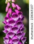 Flower Foxglove  Lat. Digitali...