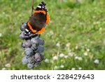 Red Admiral Butterfly Eating...