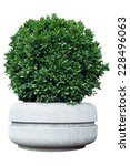 Ornamental Shrub In A Pot With...