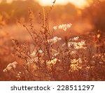 wild plant in sunset sun rays. | Shutterstock . vector #228511297