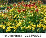 beautiful yellow daffodils and... | Shutterstock . vector #228590023