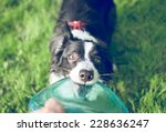 Playful Border Collie With...