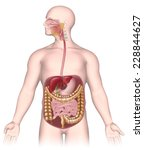 digestive system unlabeled. | Shutterstock . vector #228844627