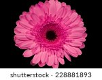 Pink Gerbera Daisies With Blac...