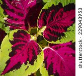 Small photo of Photo of Bright Coleus Flower Background