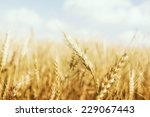 gold wheat field | Shutterstock . vector #229067443