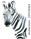 Watercolor Zebra Isolated On...