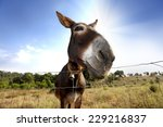 Closeup Of A Donkey On The...