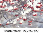 Red Berries Under Snow  Snow ...
