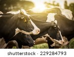 Cattle Grazing In A Field With...