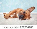 Brown French Bulldog Lying On ...