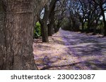 Close Up Of Jacaranda Tree...