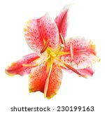 Above View Of Pink Tiger Lily...