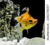 Small photo of Goldfish Popeye