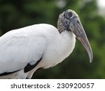 Wood Stork With Head Tilted...