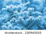 Snow Covered Fir Tree Branches