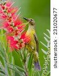 portrait of plain sunbird... | Shutterstock . vector #231020677