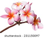 Stock photo frangipani flowers isolated on white background 231150097