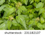 Fresh Nettle Grows In The Wild