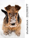 Winter Cute Airedale Terrier...