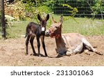A Donkey Mare Laying Down With...