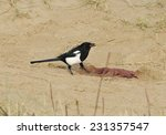 Small photo of Magpie - Pica pica, feeding on seal afterbirth