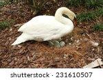 Mute Swan Incubating Her Eggs...