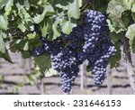 Blauburger Grapes In A Vineyar...