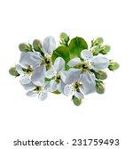 white apple flowers branch...   Shutterstock . vector #231759493