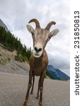 mountain goat in closeup  in... | Shutterstock . vector #231850813