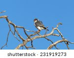 Small photo of An African Pygmy Falcon (Polihierax semitorquatus) perched on a dead tree against a clear blue sky, South Africa