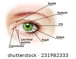 human eye anatomy diagram  ... | Shutterstock . vector #231982333