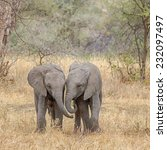 "Small photo of ""Side-by-Side"": Two baby elephants walking side-by-side, Tarangire National Park, near Arusha, Tanzania, Africa"