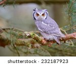 White Faced Scops Owl Sitting...