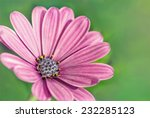 Purple African Daisy On The...