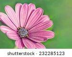 Purple African Daisy On The...