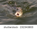 Tiger Fish Being Caught At Lak...