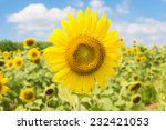 spring sunflowers in the garden ... | Shutterstock . vector #232421053