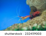 Marine Shrimp Lysmata...