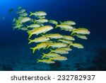 School Yellow Fish  Goatfish...
