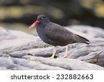 Small photo of American Black Oystercatcher