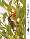 Small photo of Eastern Spinebill (Acanthorhynchus tenuirostris) sitting in a bush in the Lamington National Park, Queensland, Australia.