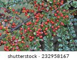 Wall Cotoneaster   Cotoneaster...